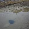 水溜りのオタマジャクシ