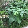 インゲンの収穫とホタルブクロの花。