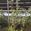 【斑入り葉が洋にも和にも合う】ナワシログミ ギルドエッジの成長記録~耐陰性もありとても丈夫で育てやすい庭木
