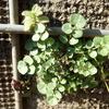 タネツケバナの仲間の可愛い葉