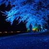 【桜満開】会津に住むおじさんが宮川の千本桜のライトアップを見に行った話。【お花見】