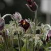 賢治作品に登場する謎の植物-サキノハカとクラレの花-