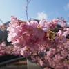 日本で一番先に春が来る町で ~河津桜~