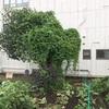 ゴーヤの木?