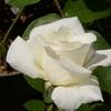 2014/05/18 オナー 純白の美しさ