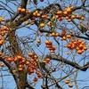 柿の木に登る時の注意点