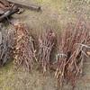 切りっ放しの枝 残りは後日  Branches just cut down