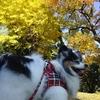 立冬の日、黄葉が進む舎人公園をペットと散策