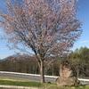 戸隠キャンプ場はまだ春が訪れたばかり…今年は桜はまだでした。