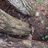 椎茸のホダ木 たったの2個