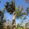 野幌森林公園は楽しい!19 ちょっと変わった形の木!