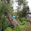 台風19号で倒れた石川啄木ゆかりの柳や大学構内の木。