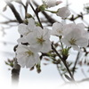 サクラ3分咲き (鹿児島県霧島市プリザーブドフラワー・霧島市プリザーブドフラワーウェディングブーケのハートローズ)