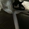 猫、福助1か月!
