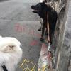 甲斐犬サン、壁に愛情を感じる時〜壁ダッテ生キテマスカラッ(● ˃̶͈̀ロ˂̶͈́)੭ꠥ⁾⁾いや、生きてへんやろ……(^_^;)。