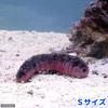 (海水魚 ナマコ)アカミシキリ Sサイズ(1匹) 北海道・九州航空便要保温