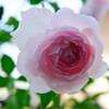育てて6年目、バラみさきをまとめます。