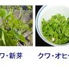 拙著「野草を食べる・滋味(JIMI)!!」の記述から:クワ(桑)