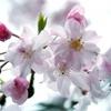 不登校になって~桜と雨と~