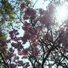 桜   Cherry Blossoms  Sakura