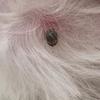 【犬と猫のマダニ】マダニを介してウイルス感染⁉︎人獣共通感染症に注意‼