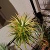 沖縄で買った巨大な ionantha Druid が咲いた。