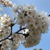 桜を見ながらお墓参り
