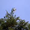 羽を少し広げ威嚇するチゴモズの囀り