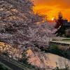桜の散歩道 No.4