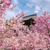 嵯峨釈迦堂の河津桜