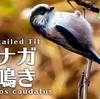 エナガの鳴き声【野鳥図鑑・鳴き声図鑑】Aegithalos caudatus Long-tailed tit
