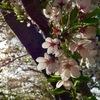 札幌の名残り桜