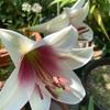 【おまけ】テッポウユリ開花🌸