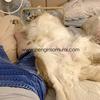 ゴールデンレトリバーは自由な犬