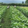 毛豆順調に生長しています 収穫はまだまだです