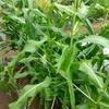 第2回トウモロコシ収穫は前途多難の模様