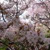 京都の桜 原谷苑~3