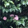 秘めて猶艶めく雨の花椿