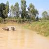 タイ東北地方イサーンの田舎にある、うちの牧場の水牛の行水をご覧ください。