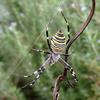 巣作り中?のナガコガネグモ