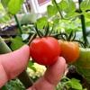 ミニトマト初収穫!レジナは萎凋病?