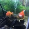 金魚の体温