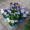 冬のコンテナ用に花材買ってきました