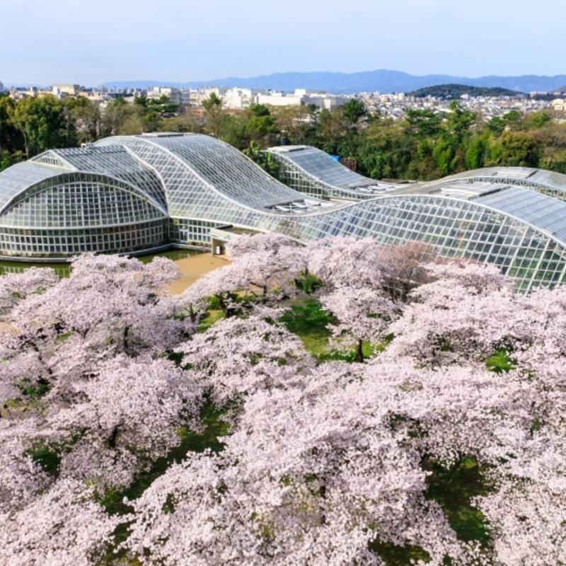 春爛漫♡130品種の桜がお出迎え!ライトアップもある春の京都府立植物園