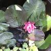 温帯性スイレンの花が3年目で咲きました〜♪