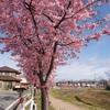 桜、満開です。