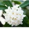 春のかおり~沈丁花~