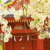 白藤(鎌倉・旗上げ弁天)