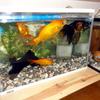 我が家の金魚達