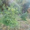 ベルガモットの収穫